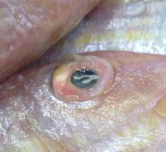 Avoid fish with cloudy and sunken eyes