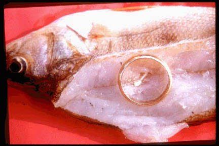 Showing parasites in fish