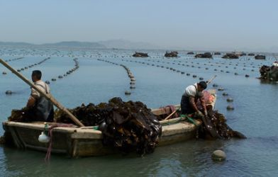 Men in boat harvesting kombu