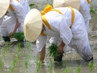 Rice being planted