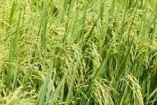 Sake rice field