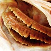 Avoid fish that have gills like this...dull, brown, green or yellowing...